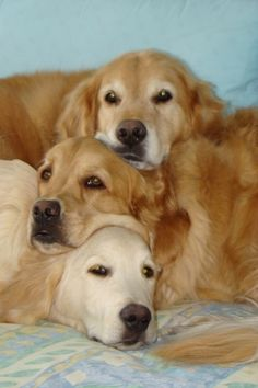 ~ 3 ADORABLE GOLDENS ~ this pillow feels just right!