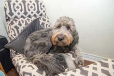 """Chloe is a Goldendoodle  – her dad was a white, grey and black spotted poodle, hence her unusual  """"charcoal"""" coat. She sure fits in great with Jessica's modern and cozy furniture!"""