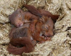 Sleeping baby squirrels. Cutest picture ever?