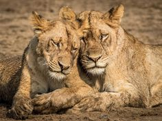 They grow up so fast! Do you know how to tell the age of a lion? Choose your wild experience: 📷: sam_thenomad Lions, Vacations, Safari, African, Age, Travel, Animals, Holidays, Lion