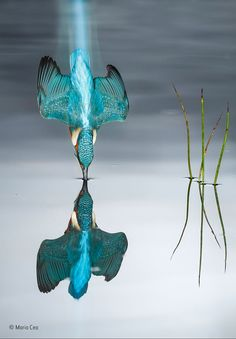 """Ein Eisvogel schießt beim Beutefang ins Wasser. © Mario Cea, Spanien: """"The Blue Trail"""""""