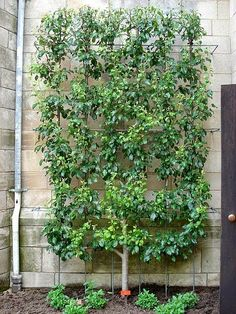 Espalier - awesome design and functional - just got an idea for the fruit trees I have no room for... by s. e. on Flickr...