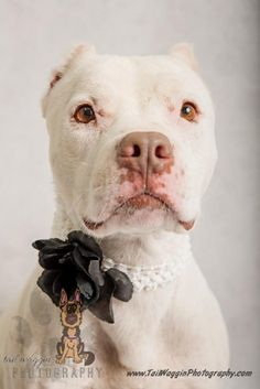 **UPDATE**6/18/15 ADOPTED!!!!!!!!! Meet Hanna, a Petfinder adoptable American Staffordshire Terrier Dog | Manteo, NC | Hanna is sponsored for $40 dollars off of her adoption fee!Hanna is in foster care! Please contact...