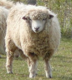 Ramley as a lamb.