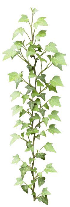 Ivy png by gd08.deviantart.com