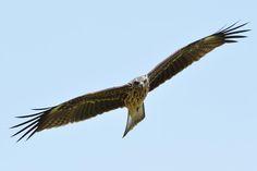 Black kite by Mubi.A