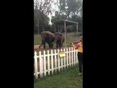 Слоны восхищенно танцуют под звуки скрипки