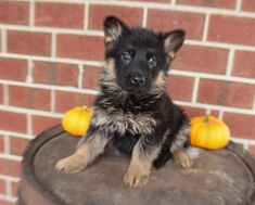 Breed: German Shepherd Gender: Male Registry: AKC Personality: family-oriented Date Available: Oct 26 2020 Say hello to Georgo! He is a sweet and loving German Shepherd pupper from New Haven, IN. He will make a good family dog, as he does great with kids. Georgo is vaccinated, has a six month health guarantee, and canRead More The post Georgo appeared first on VIP Puppies - Puppy Finder - Puppies for Sale & Puppies for Adoption. If you've enjoyed this post, be sure to follow VIP Puppies on…