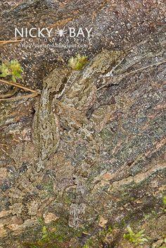 Kuhl's Flying Gecko (Ptychozoon kuhli) - DSC_9293 by nickybay, via Flickr