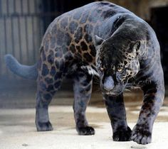 Melanistic (all black) animals, the opposite of albinism. They& much blacker than normal. While Black Panthers (actually leopards) are the most well-known melanistic animals, a host of others have Jaguar Noir, Melanistic Animals, Serval, Rare Animals, Black Animals, Big Animals, Mundo Animal, African Animals, African Elephant