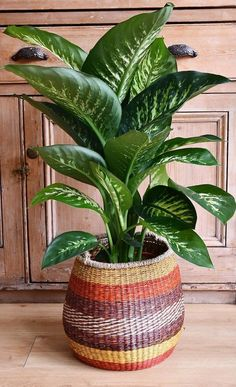 Plants In Glass Bowl, Dieffenbachia Care, Indore Plants, Dumb Cane Plant, Trees To Plant, Plant Leaves, Plant Guide, House Plant Care, Interior Plants