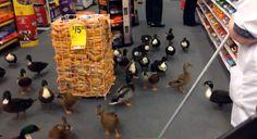 Ducks Invade New York CVS Pharmacy