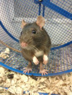sweet little rat