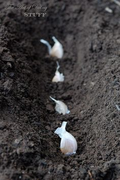 "how to plant and grow garlic. - Another pinner said, ""I did this with a .49 garlic from the grocery and had so much garlic, plus while it's growing it's pretty..."""