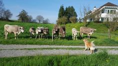 Dogs are natural cow magnets. Every time we pass the fence they all come over to stare at my dog. Cow Magnet, Switzerland, Fence, Magnets, Natural, Dogs, Animals, Animales, Animaux