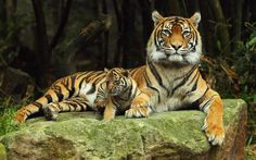 Animals Tiger HD Images #24496 Wallpaper