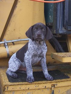 More About Energetic German Shorthaired Pointer Pup Exercise Needs Gsp Puppies, Pointer Puppies, Pointer Dog, Baby Animals, Cute Animals, Puppy Classes, German Shorthaired Pointer, German Shepherd Puppies, German Shepherds