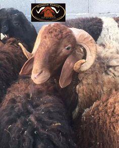 www.karrasfarm.com  Awassi dairy sheep. USA