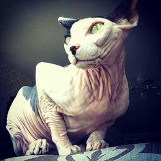 Dobby Cat, Cornish Rex Cat, Mean Cat, Sphinx Cat, Crazy Cats, Weird Cats, Pusheen Cat, Beautiful Cats, Cat Memes