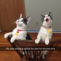 Cats seeing a ceiling fan for the first time.