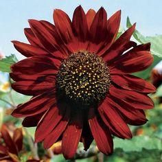 Sunflower Velvet Queen Seeds (Helianthus Annuus) 50+Seeds