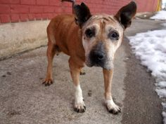 SUPER URGENT 2/17/14 Brooklyn Center   GENESIS - A0991789  FEMALE, BROWN / WHITE, PIT BULL / LABRADOR RETR, 9 yrs STRAY - STRAY WAIT, NO HOLD Reason STRAY  Intake condition NONE Intake Date 02/16/2014, From NY 11385, DueOut Date 02/19/2014,  https://www.facebook.com/photo.php?fbid=760175537328661&set=a.617942388218644.1073741870.152876678058553&type=3&theater