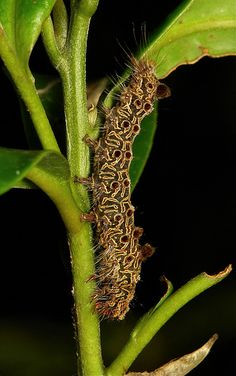 ˚Moth Caterpillar