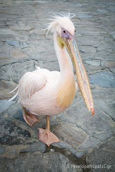 Petros, the Myconian pink Pelican! -   we saw him on Myconos!