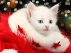Funny Cat Christmas Wallpaper -