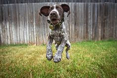 GSP pup...a bundle of awesome energy!