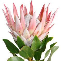 Designs For Garden Flower Beds King Protea Stem Tropical Flowers, Hawaiian Flowers, Exotic Flowers, Wild Flowers, Beautiful Flowers, Protea Art, Protea Flower, King Protea, Australian Native Flowers