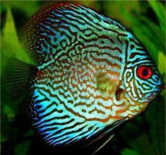 Peces del arrecife. Azul turquesa Discus.