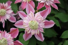 Buy clematis (group 2) Clematis 'Josephine ('Evijohill') (PBR)': Delivery by Crocus
