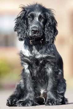 Blue roan working spaniel.