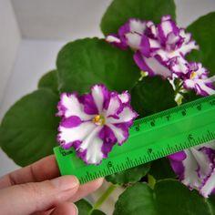 Ness Cherry Confection, цветы до 6 см