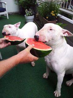 A Bullie watermelon eating contest :)