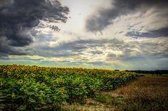Sunflower field near Templin (Germany)