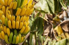 How To Grow A Banana Tree with A Store Bought Banana - Gardening Dream Compost Soil, Organic Compost, Growing Tree, Growing Plants, Indoor Banana Tree, Grow Banana Tree, Potted Fruit Trees, Banana Seeds, How To Grow Bananas