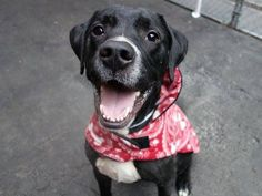 TO BE DESTROYED - 01/15/15 Manhattan Center -P  My name is SPARKIE. My Animal ID # is A1024823. I am a neutered male black and white labrador retr mix. The shelter thinks I am about 2 YEARS   I came in the shelter as a STRAY on 01/05/2015 from NY 11368, owner surrender reason stated was STRAY.
