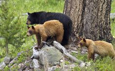 Black bear mother and cubs Yellowstone National Park by Nancy Reynolds 500px