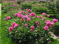 Peonies | Peonies, before they meet your bouquet!