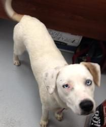#SCAROLINA #URGENT ~ Delilah is a Catahoula mix dog surrendered by her owner because she was moving.A beautiful sweetheart with gorgeous blue eyes in need of a loving #adopter or #rescue at DILLON COUNTY ANIMAL SHELTER 1020 Old Latta Hwy  #Dillon SC 29536 Dilloncountyanimalshelter@hotmail.com Ph 843-841-8884