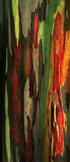 Rainbow eucalyptus...