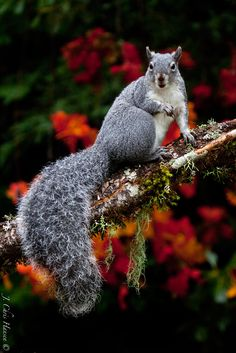 Former pinner: Beautiful Western Gray Squirrel in my backyard. It posed for me. They model for sunflower seeds. Cute Squirrel, Baby Squirrel, Squirrels, Animals And Pets, Baby Animals, Cute Animals, Wild Animals, Squirrel Pictures, Animal Pictures