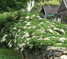 Hydrangea petiolaris (climbing hydrangea as groundcover)