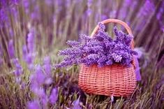 Basket Of Lavender Purple Flower Resolution Wallpaper, HD Flowers Wallpapers, Images, Photos and Background Lavender Seeds, Lavender Flowers, Lavender Oil, Purple Flowers, Lavender Plants, Lavender Bouquet, All Things Purple, Flower Images, Medicinal Plants