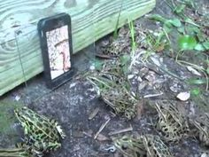 An Army of Frogs Gather to Watch a Video of Worms on a Smartphone