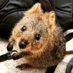 #cute as a #quokka #rottnest #westernaustralia #perth Penguin Animals, Happy Animals, Animals And Pets, Cute Animals, Quokka, Australian Animals, Warm Fuzzies, Wombat, My Spirit Animal