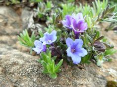 lithospermum diffusum - Cerca con Google