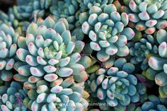 The coloring on these succulents is amazing!